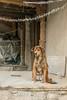 Street dog with tinsel, Leh, Ladakh