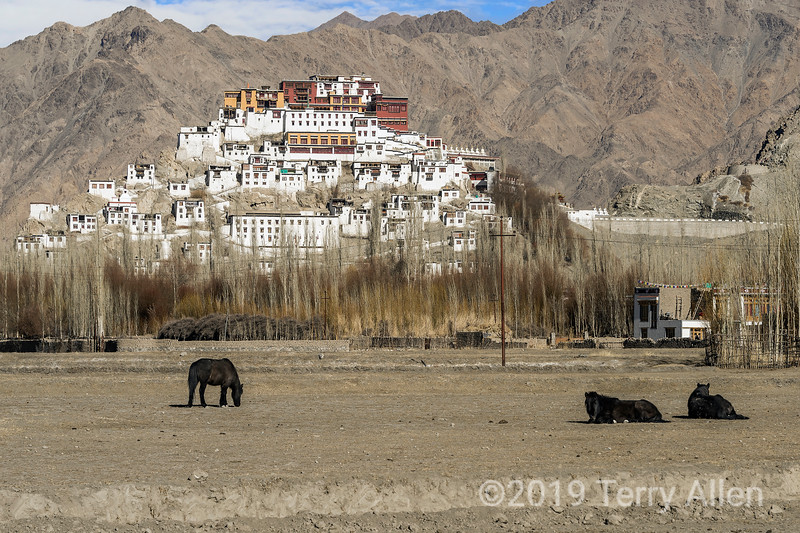 Thikse Gompa with horses, Indus River, East of Leh, Ladakh