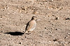 Chukar partridge (Alectoris chukar), Hemis National Park, Ladakh