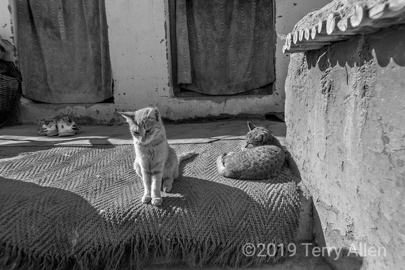 Gompa cats