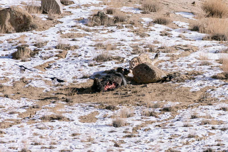 Snow leopard chasing magpies from yak kill, Ulley, Ladakh