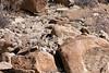 Female uriel sheep, Sham Valley, near Hemis Shukpachan, Ladakh