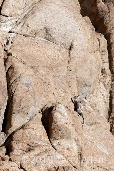 Young uriel sheep (Ovis orientalis vignei) scaling a vertical cliff, near Sakars, Ladakh