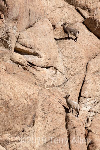 Female uriel sheep (Ovis orientalis vignei) scaling a verical cliff, near Saraks, Ladakh