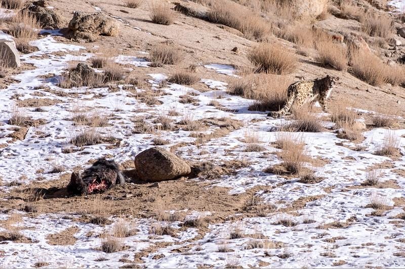 Snow leopard (Panthera unica) looking back its yak carcass, Ulley, Ladakh