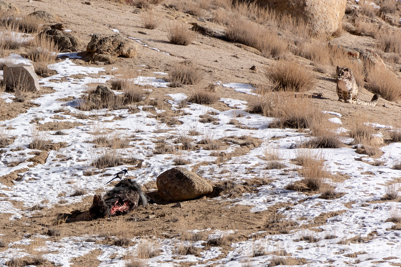 Snow leopard (Panthera uncia) spies a black-billed magpie (Pica pica) on its yak kill, Ulley, Ladakh