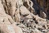 Female and juvenile uriel on granite cliff face, near Saraks, Ladakh, India