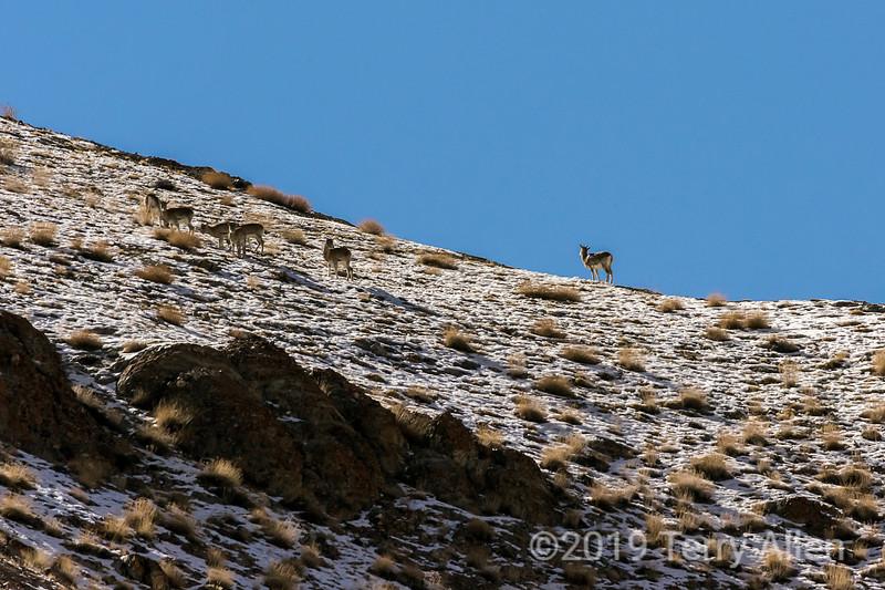 Herd of female ibex, near Saraks, Ladakh, India