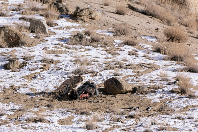Snow leopard guarding its yak kill against magpies, Ulley, Ladakh