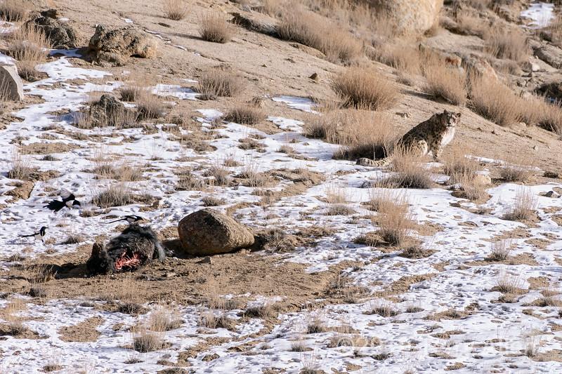 Magpies (Pica pica) move in on a snow leopard's yak kill, Ulley, Ladakh