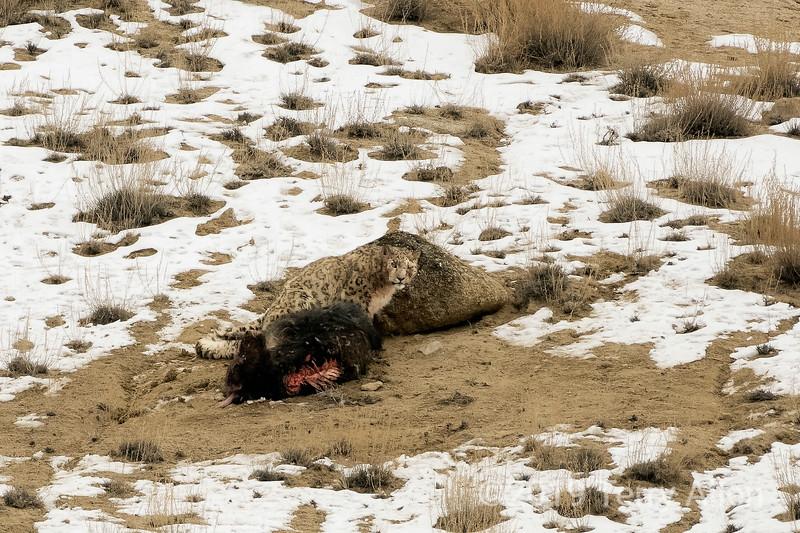 Snow leopard on yak kill, Ullay, Ladakh