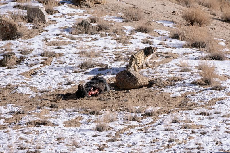 Snow leopard (Panthera unica) leaving its yak carcass, Ulley, Ladakh