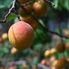 Apricot season in Alchi