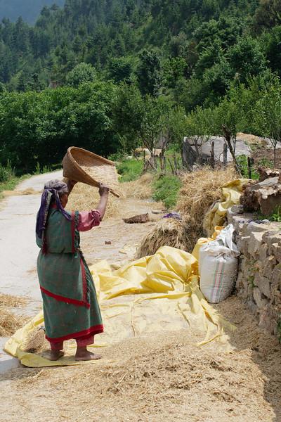 Women drying harvesting wheat outside Old Manali