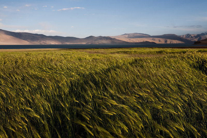 Barley fields near Tso Moriri, Ladakh, India