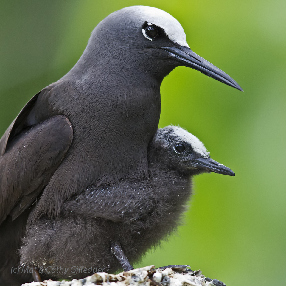Black Noddy