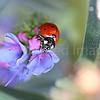 Ladybug Splendor