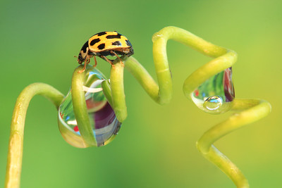 Asian Ladybug and Drops (2)   by Bruno SUIGNARD