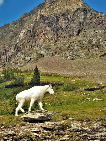 Clements Mountain Goat