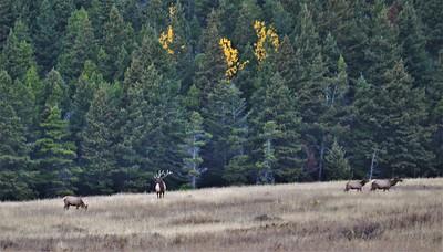 East Glacier Elk