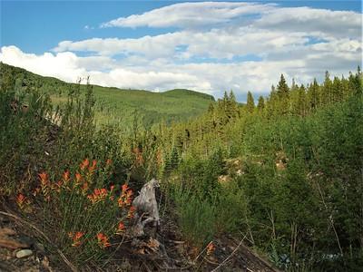 Indian Paintbrush, Wyoming state flower