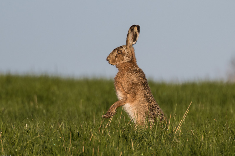Brown Hare - Hare