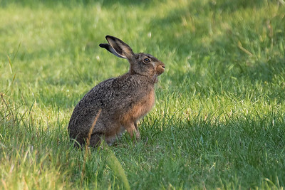 Brown Hare ~ Hare