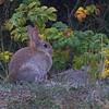 Rabbit - Kanin