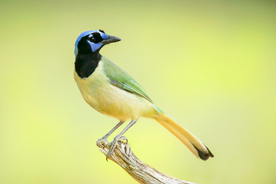 Green Jay Laguna Seca Ranch Edinburg TX