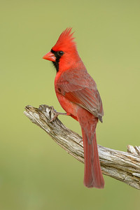 Northern Cardinal Laguna Seca Ranch Edinburg TX