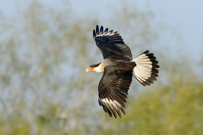 Northern Crested Caracara  Laguna Seca Ranch Edinburg TX