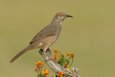 Curve-billed Thrasher Laguna Seca Ranch Edinburg TX