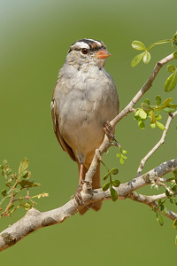 White-crowned Sparrow Laguna Seca Ranch Edinburg TX