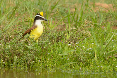 Great Kiskadee Laguna Seca Ranch Edinburg TX