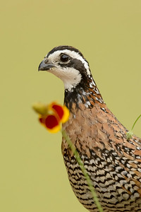 Northern Bobwhite Quail Laguna Seca Ranch Edinburg TX