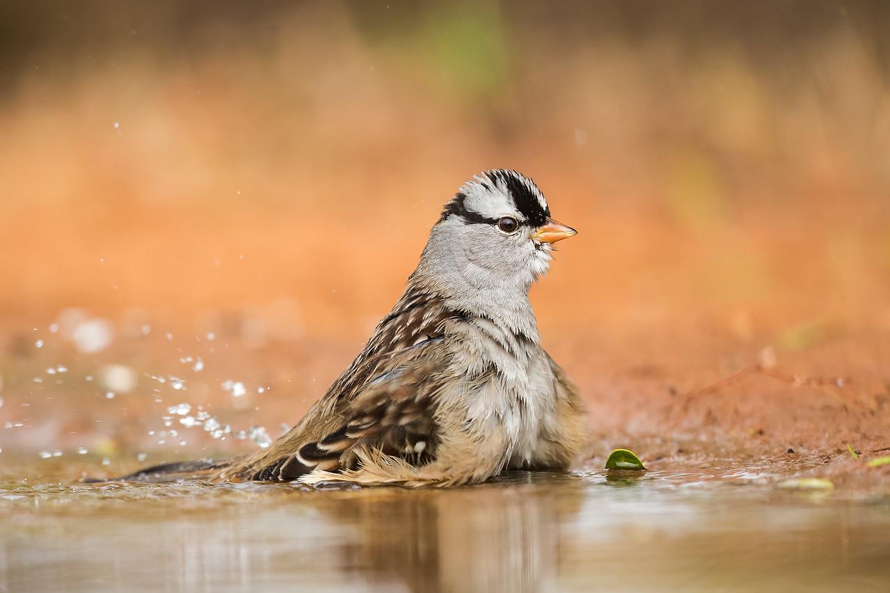 White-crowned Sparrow Laguna Seca Ranch.  Edinburg, TX