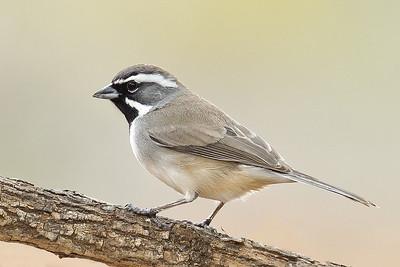 Black-throated Sparrow Laguna Seca Ranch.  Edinburg, TX