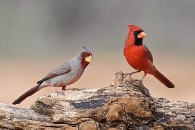 Pyrrhuloxia and Northern Cardinal Laguna Seca Ranch.  Edinburg, TX