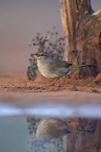 Olive Sparrow Laguna Seca Ranch.  Edinburg, TX