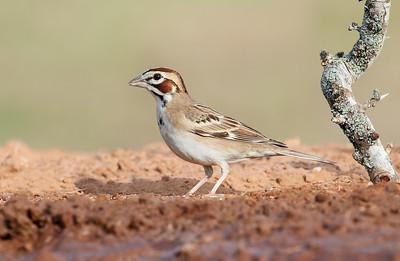 Lark Sparrow  Laguna Seca Ranch.  Edinburg, TX