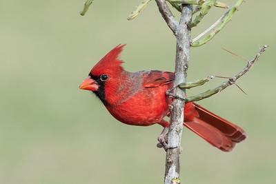 Northern Cardinal Laguna Seca Ranch.  Edinburg, TX