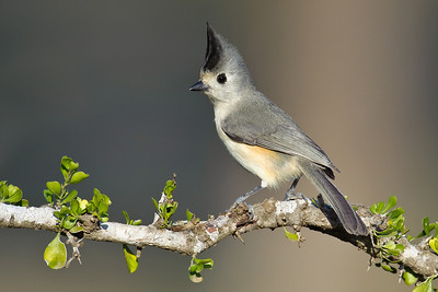 Black-crested Titmouse Laguna Seca Ranch.  Edinburg, TX
