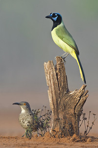Green Jay and Curve-billed Thrasher Laguna Seca Ranch.  Edinburg, TX