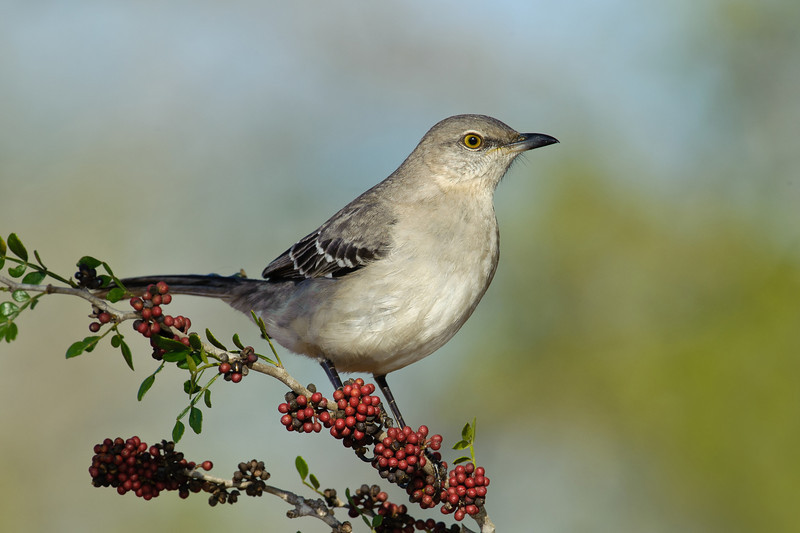Northern Mockingbird Laguna Seca Ranch.  Edinburg, TX