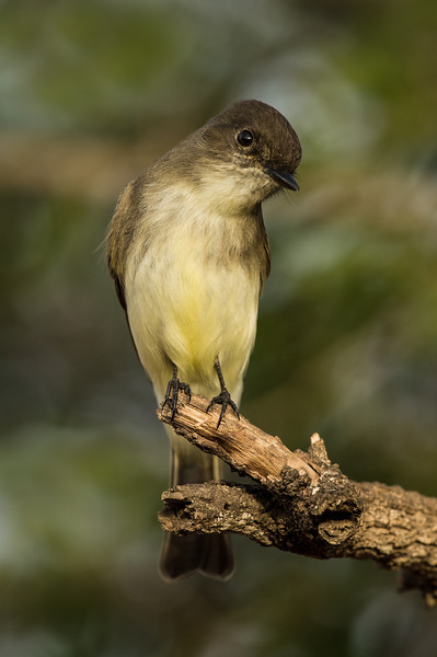 Eastern Phoebe Laguna Seca Ranch.  Edinburg, TX