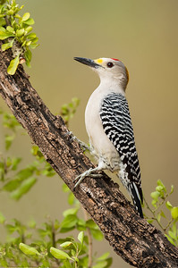 Golden-fronted Woodpecker Laguna Seca Ranch.  Edinburg, TX
