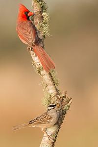 Northern Cardinal and White-crowned Sparrow Laguna Seca Ranch Edinburg, TX