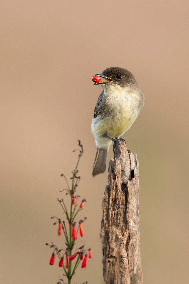Eastern Phoebe Laguna Seca Ranch Edinburg, TX