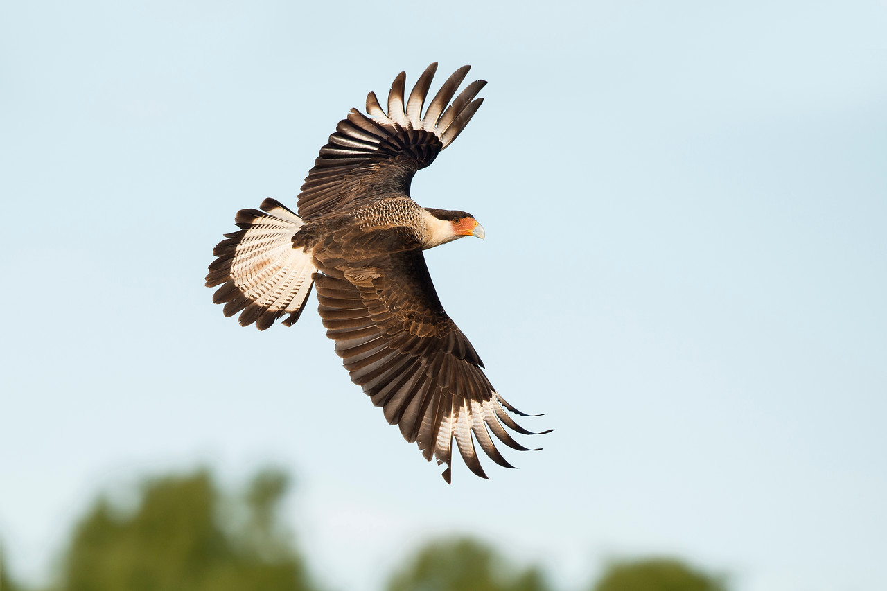 Crested Caracara Laguna Seca Ranch Edinburg, TX