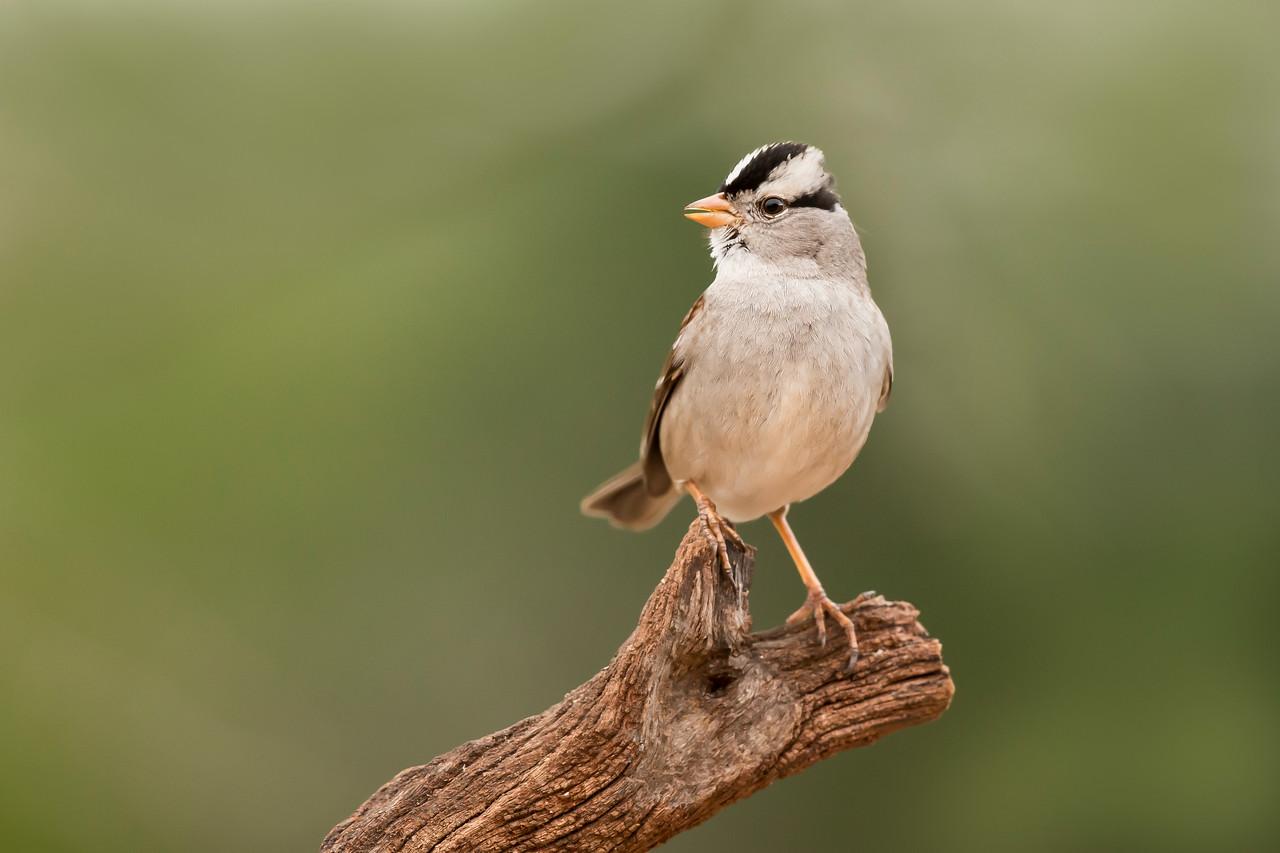 White-crowned Sparrow Laguna Seca Ranch Edinburg, TX